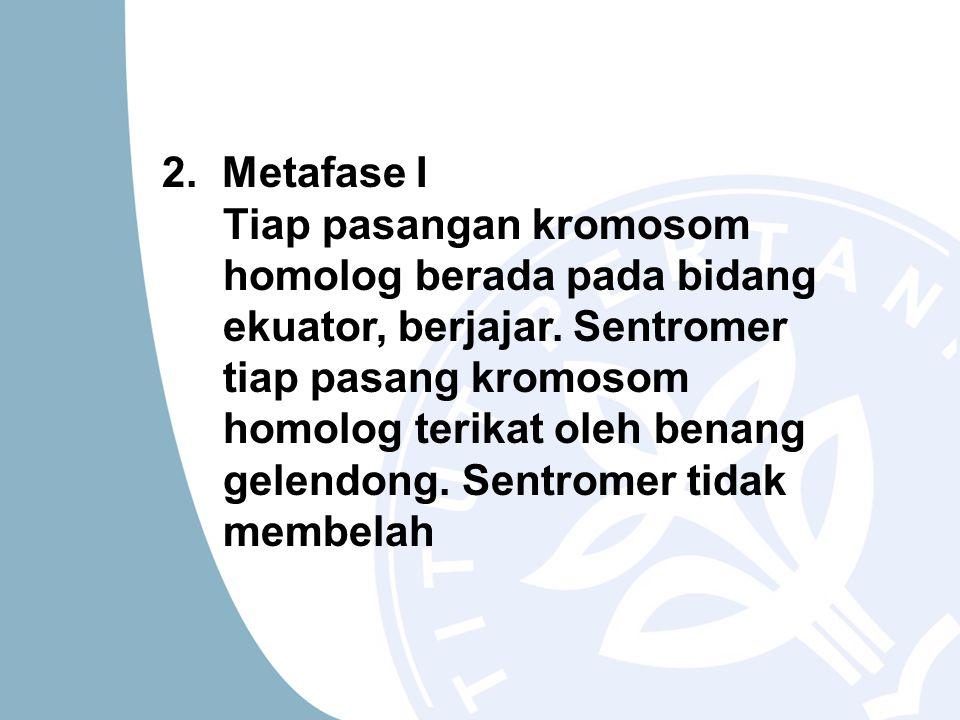 2. Metafase I Tiap pasangan kromosom homolog berada pada bidang ekuator, berjajar.