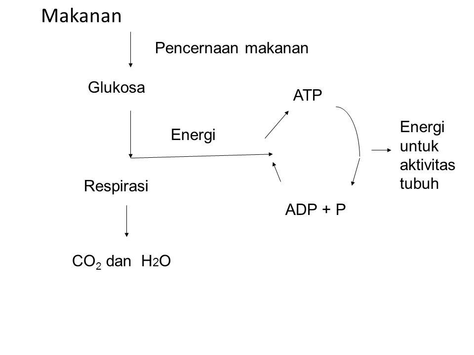 Makanan Pencernaan makanan Glukosa ATP Energi untuk aktivitas tubuh