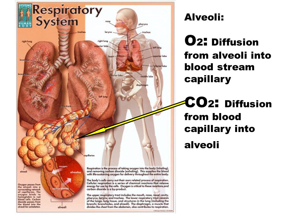 O2: Diffusion from alveoli into blood stream capillary