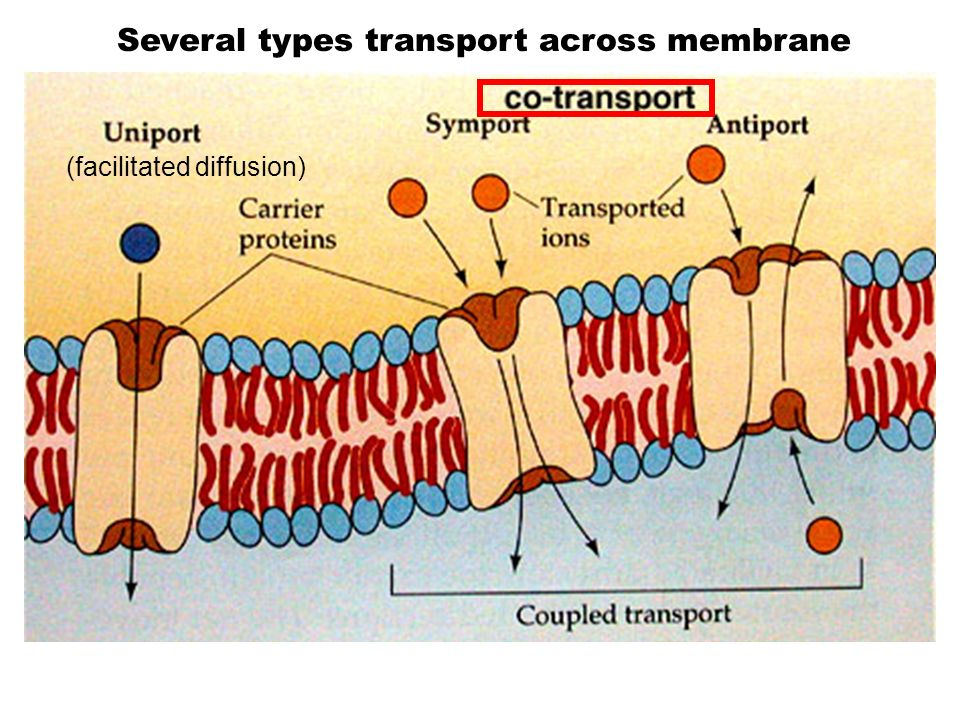 Several types transport across membrane
