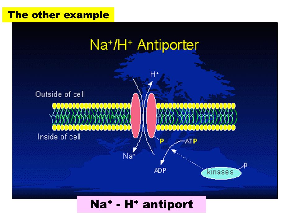 The other example Na+ - H+ antiport