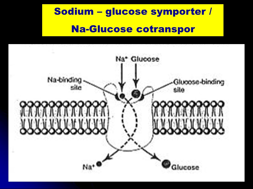 Sodium – glucose symporter / Na-Glucose cotranspor