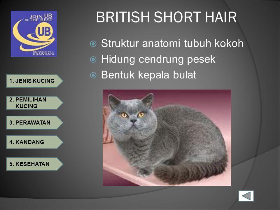 BRITISH SHORT HAIR Struktur anatomi tubuh kokoh Hidung cendrung pesek