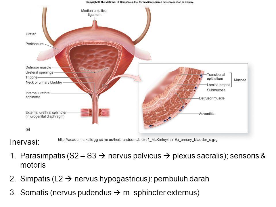 Simpatis (L2  nervus hypogastricus): pembuluh darah