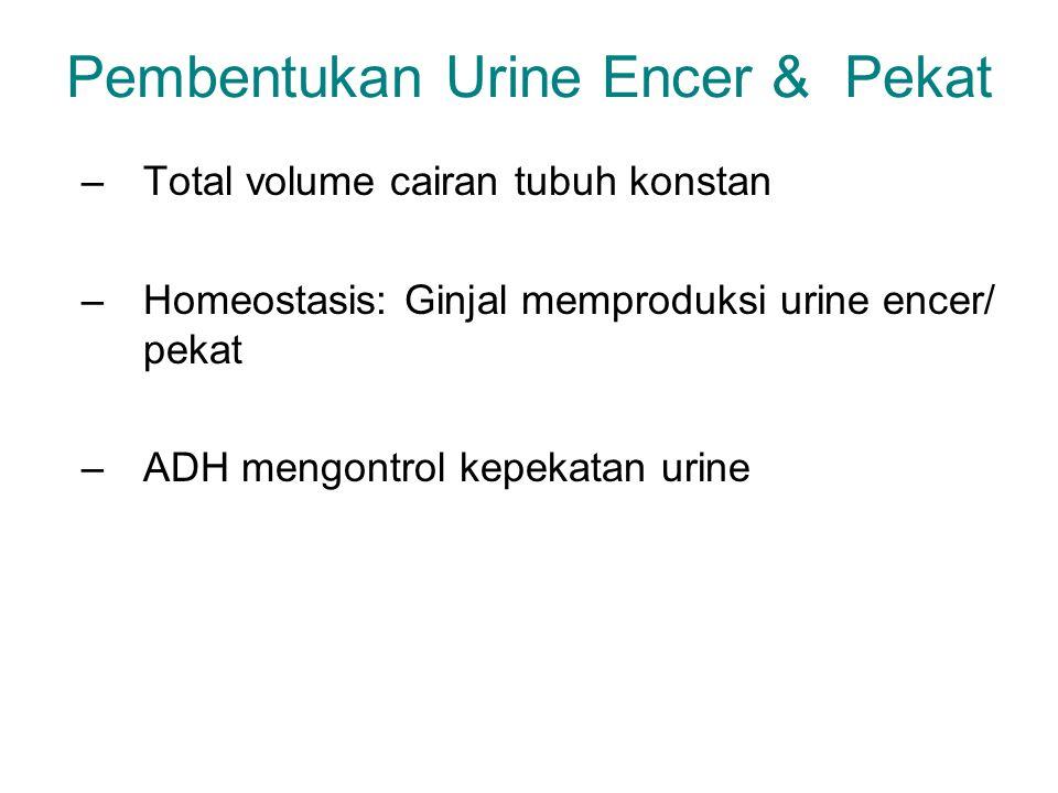 Pembentukan Urine Encer & Pekat