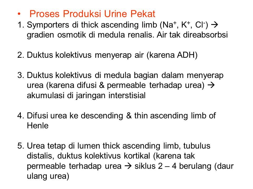 Proses Produksi Urine Pekat
