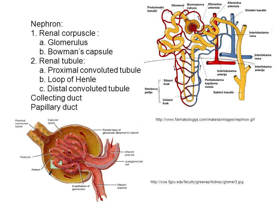 a. Proximal convoluted tubule b. Loop of Henle
