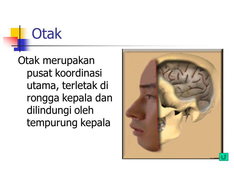 Otak Otak merupakan pusat koordinasi utama, terletak di rongga kepala dan dilindungi oleh tempurung kepala.