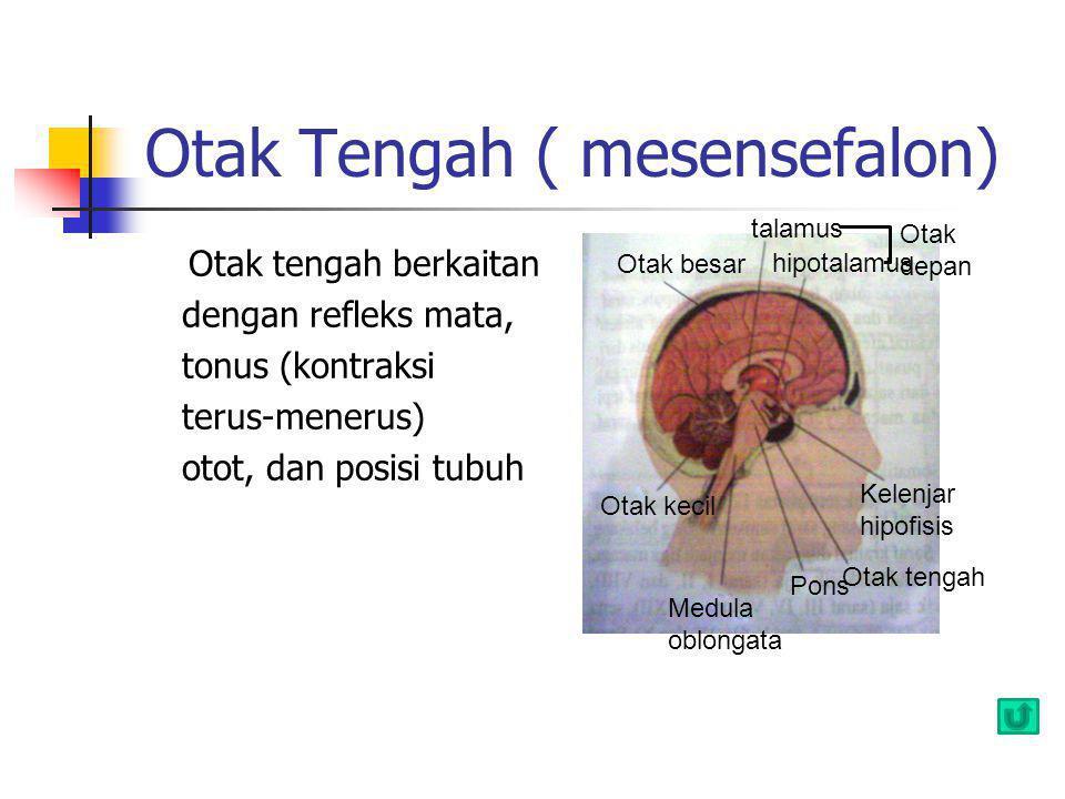 Otak Tengah ( mesensefalon)