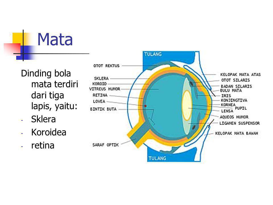 Mata Dinding bola mata terdiri dari tiga lapis, yaitu: Sklera Koroidea