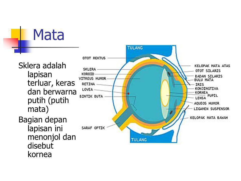 Mata Sklera adalah lapisan terluar, keras dan berwarna putih (putih mata) Bagian depan lapisan ini menonjol dan disebut kornea.