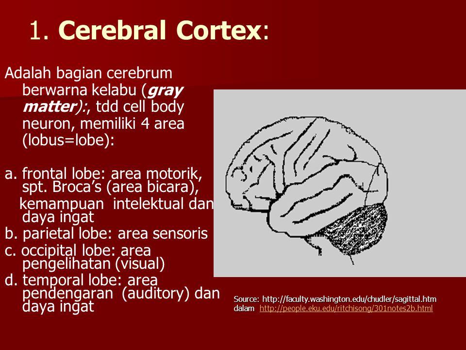 1. Cerebral Cortex: Adalah bagian cerebrum berwarna kelabu (gray matter):, tdd cell body neuron, memiliki 4 area (lobus=lobe):