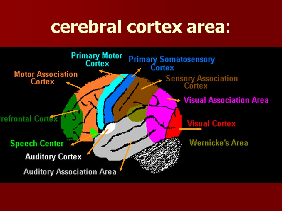 cerebral cortex area:
