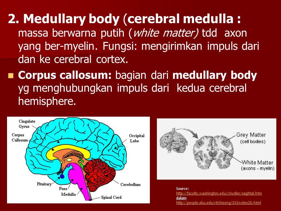 2. Medullary body (cerebral medulla : massa berwarna putih (white matter) tdd axon yang ber-myelin. Fungsi: mengirimkan impuls dari dan ke cerebral cortex.