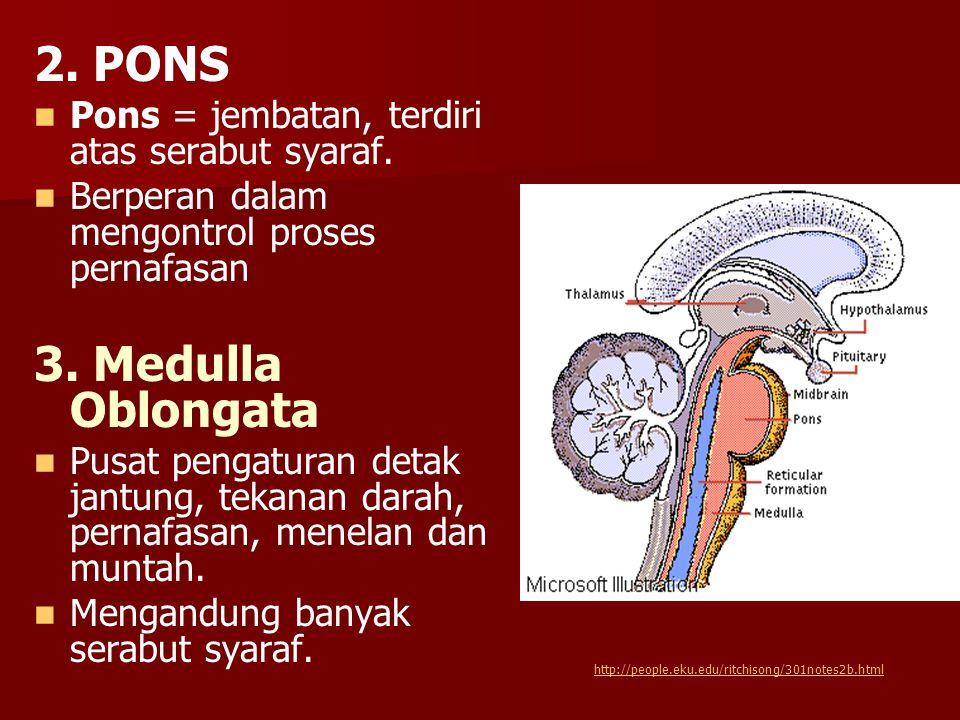 2. PONS 3. Medulla Oblongata