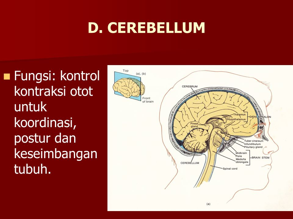 D. CEREBELLUM Fungsi: kontrol kontraksi otot untuk koordinasi, postur dan keseimbangan tubuh.
