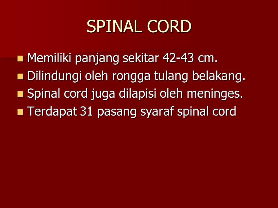 SPINAL CORD Memiliki panjang sekitar 42-43 cm.