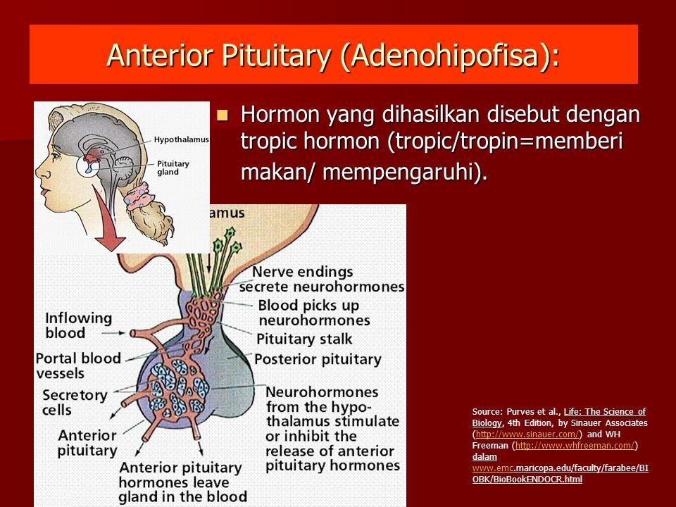 Anterior Pituitary (Adenohipofisa):