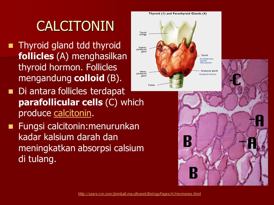 CALCITONIN Thyroid gland tdd thyroid follicles (A) menghasilkan thyroid hormon. Follicles mengandung colloid (B).