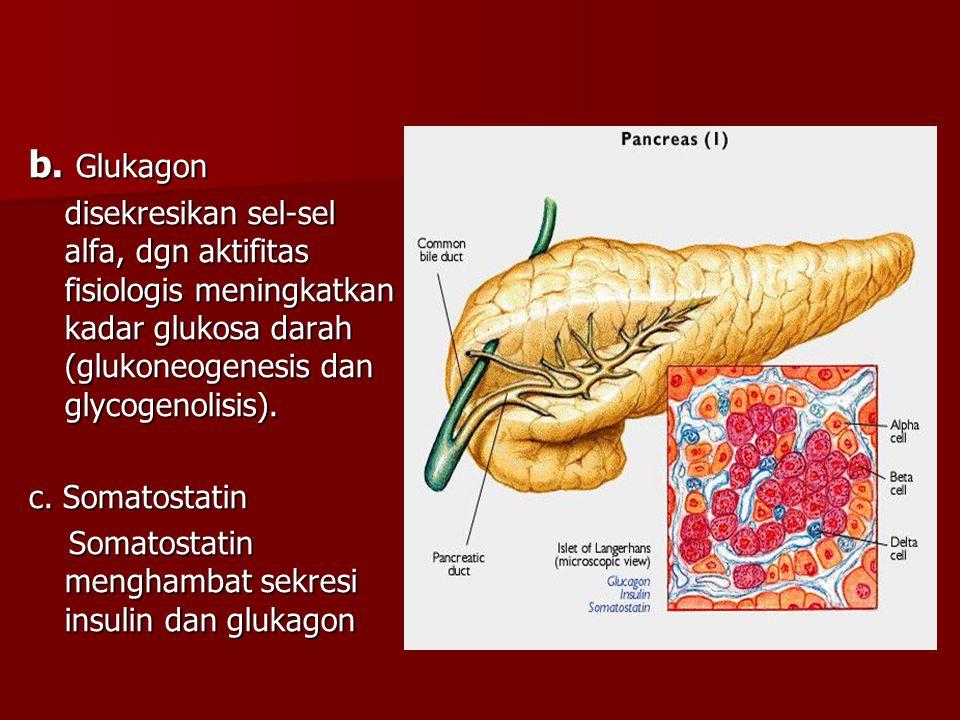 b. Glukagon disekresikan sel-sel alfa, dgn aktifitas fisiologis meningkatkan kadar glukosa darah (glukoneogenesis dan glycogenolisis).
