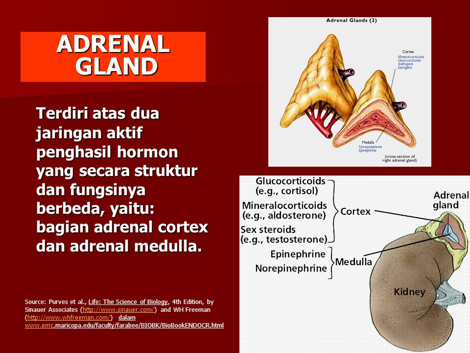 ADRENAL GLAND.