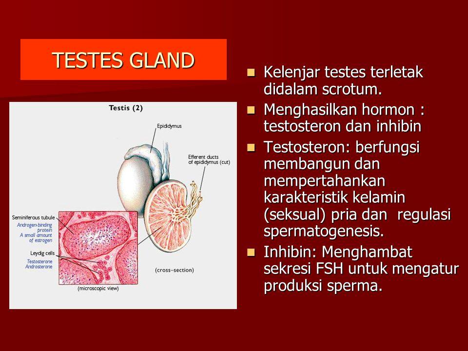 TESTES GLAND Kelenjar testes terletak didalam scrotum.