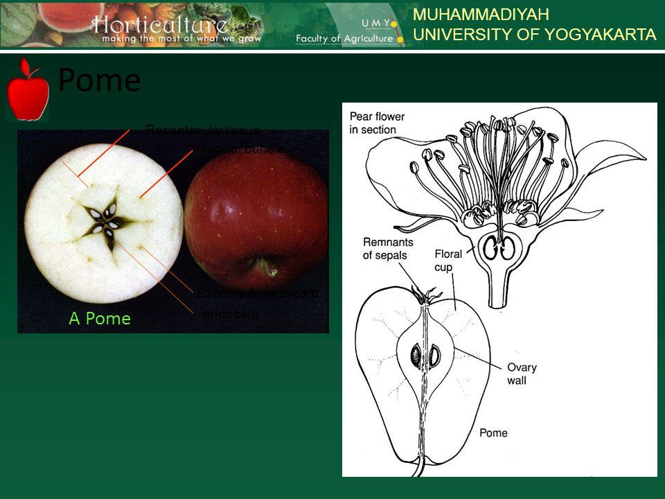 Pome A Pome MUHAMMADIYAH UNIVERSITY OF YOGYAKARTA Receptacular tissue