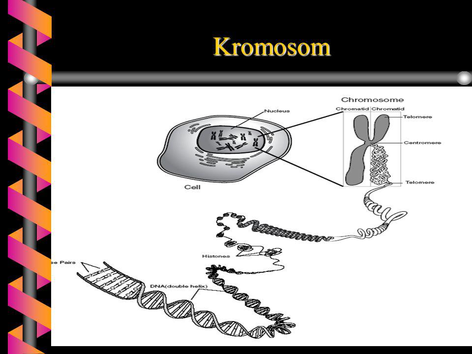 Kromosom