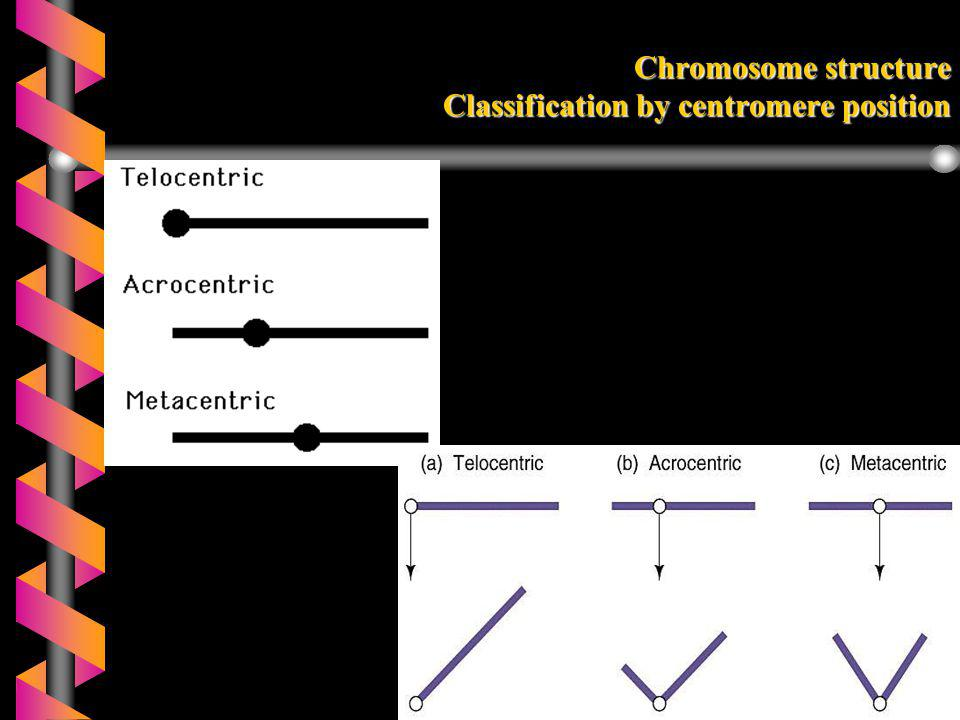 Chromosome structure Classification by centromere position