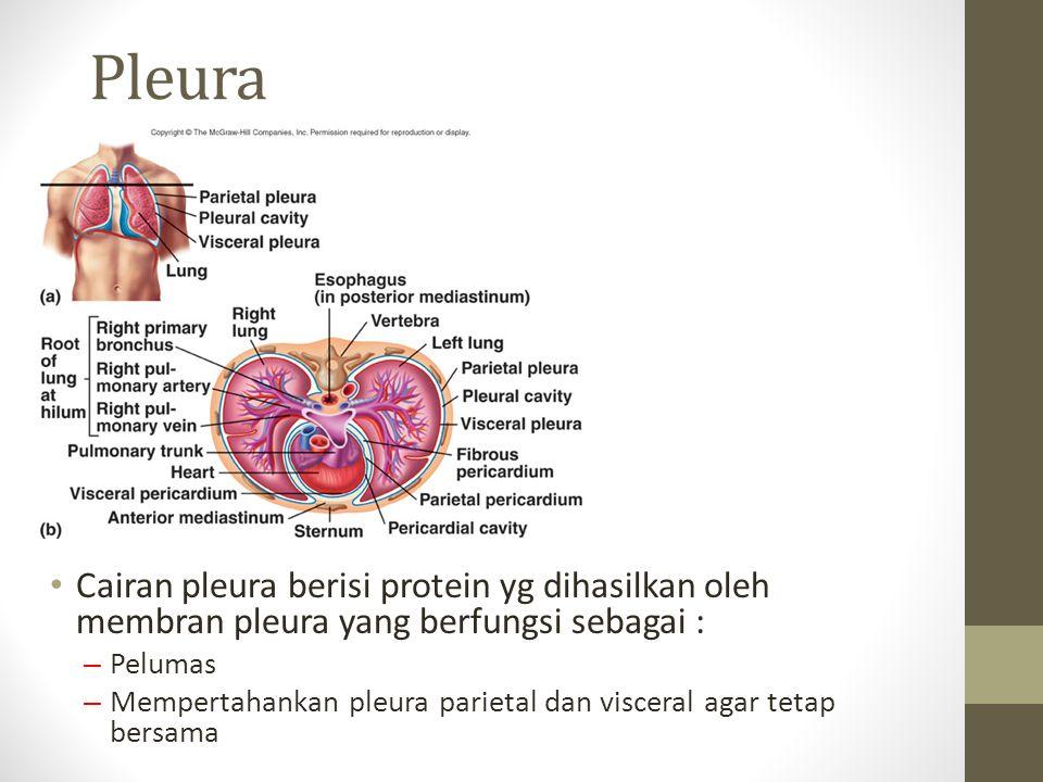 Pleura Cairan pleura berisi protein yg dihasilkan oleh membran pleura yang berfungsi sebagai : Pelumas.