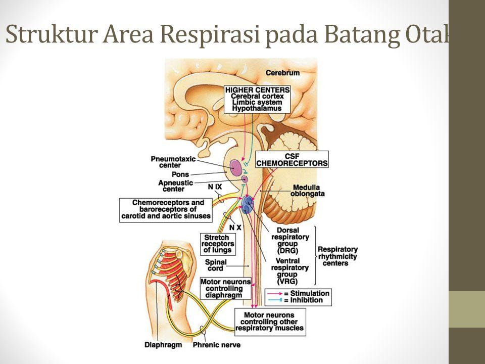 Struktur Area Respirasi pada Batang Otak