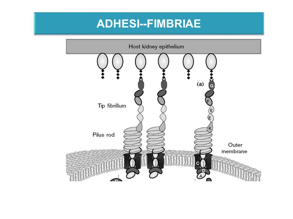 ADHESI--FIMBRIAE
