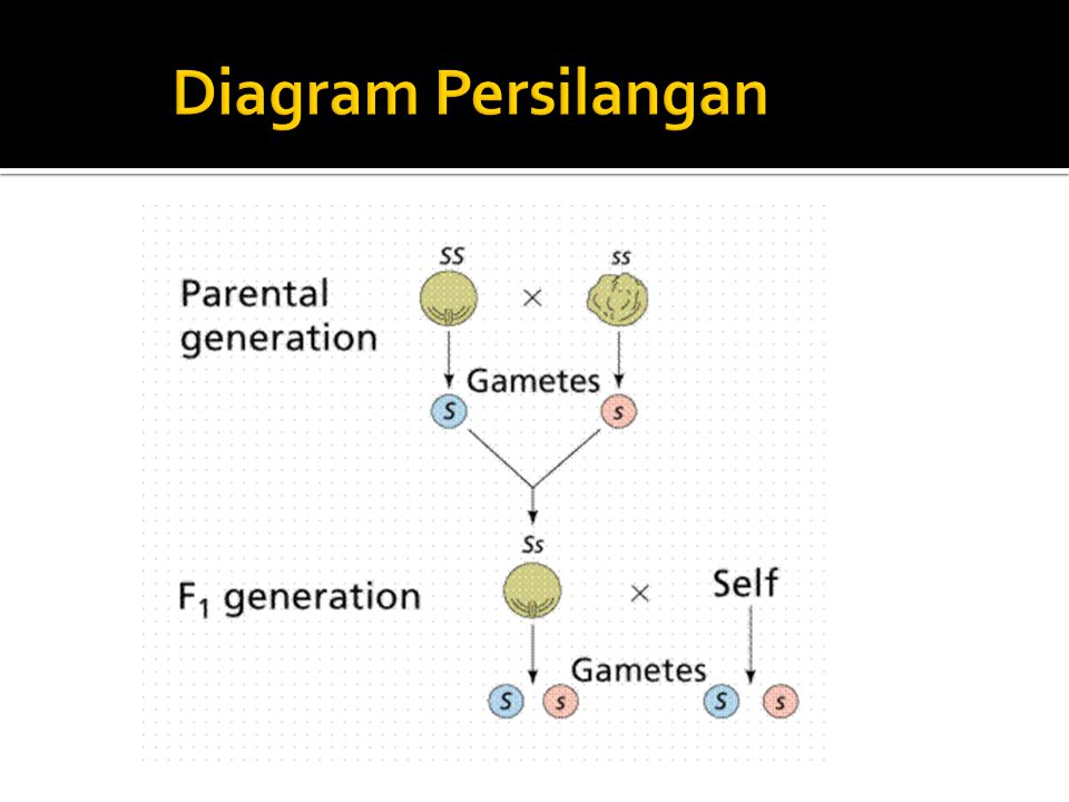 Diagram Persilangan