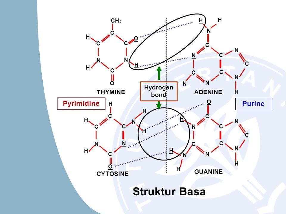 Struktur Basa Pyrimidine Purine THYMINE CYTOSINE ADENINE GUANINE