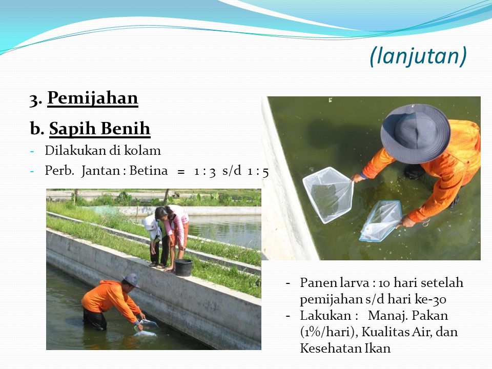 (lanjutan) 3. Pemijahan b. Sapih Benih Dilakukan di kolam