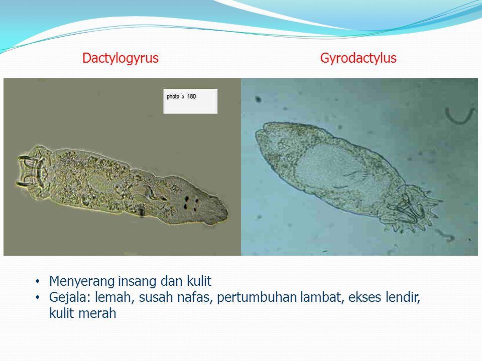 Dactylogyrus Gyrodactylus. Menyerang insang dan kulit.