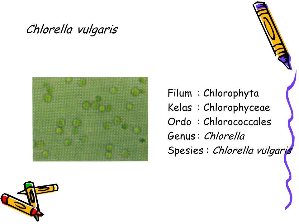 Chlorella vulgaris Filum : Chlorophyta Kelas : Chlorophyceae