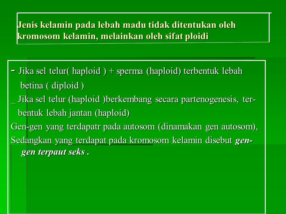 - Jika sel telur( haploid ) + sperma (haploid) terbentuk lebah