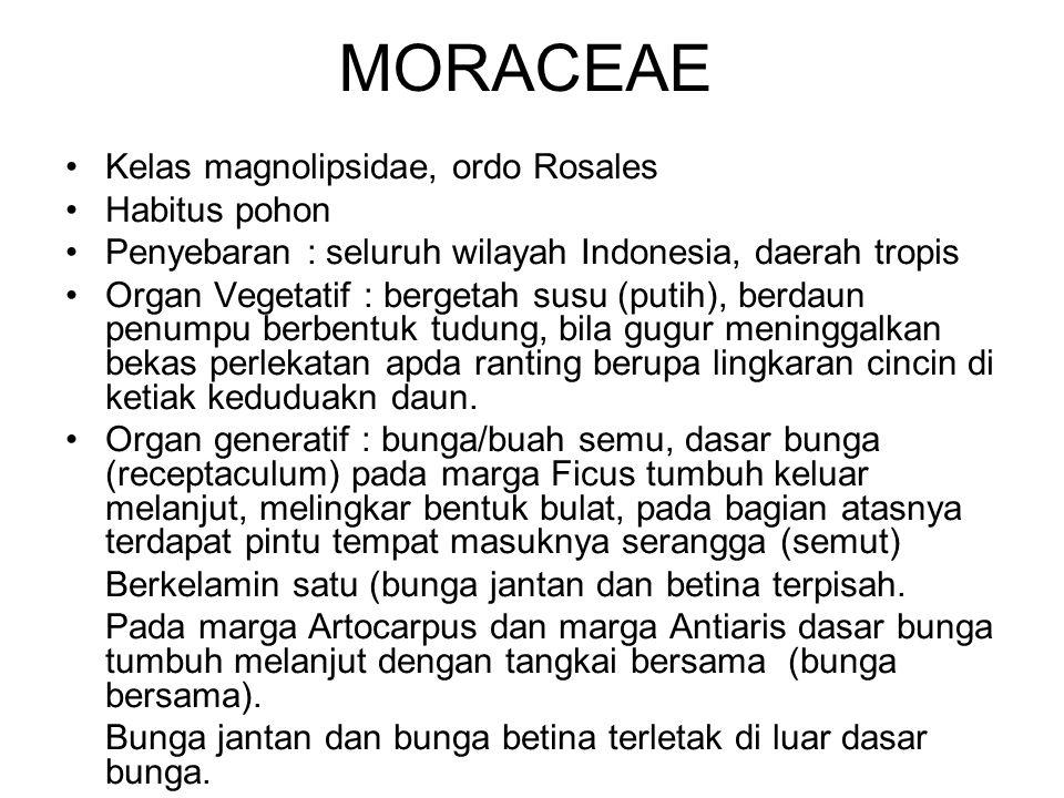 MORACEAE Kelas magnolipsidae, ordo Rosales Habitus pohon