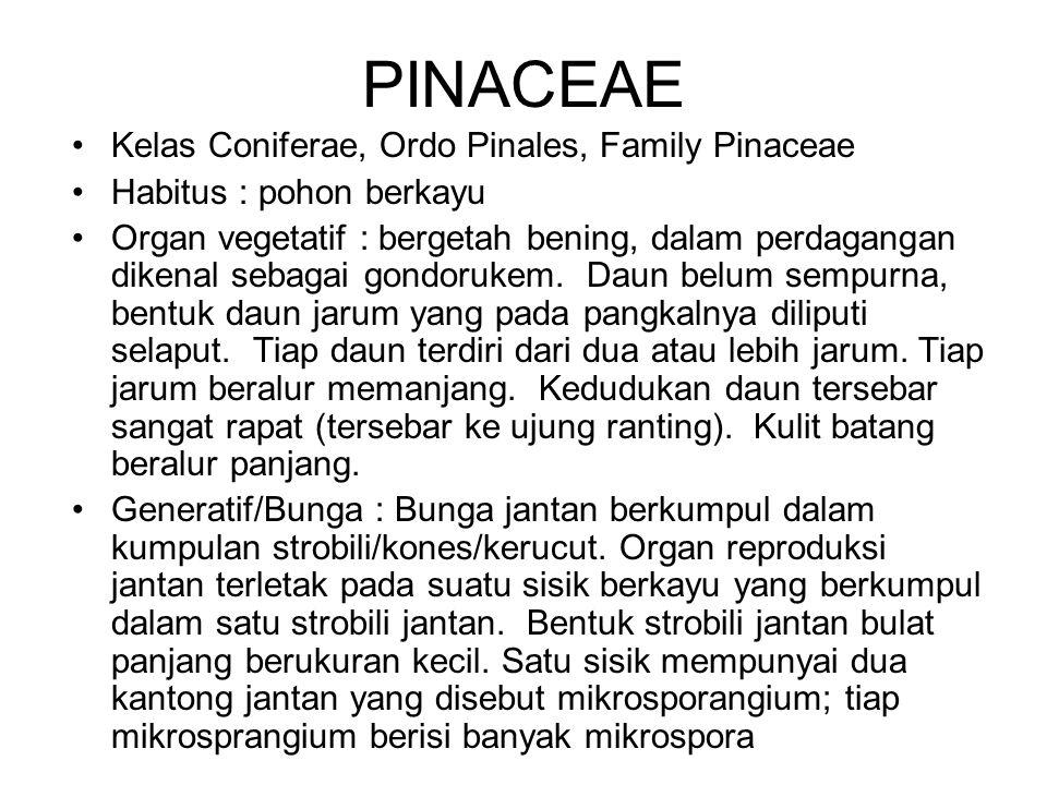 PINACEAE Kelas Coniferae, Ordo Pinales, Family Pinaceae