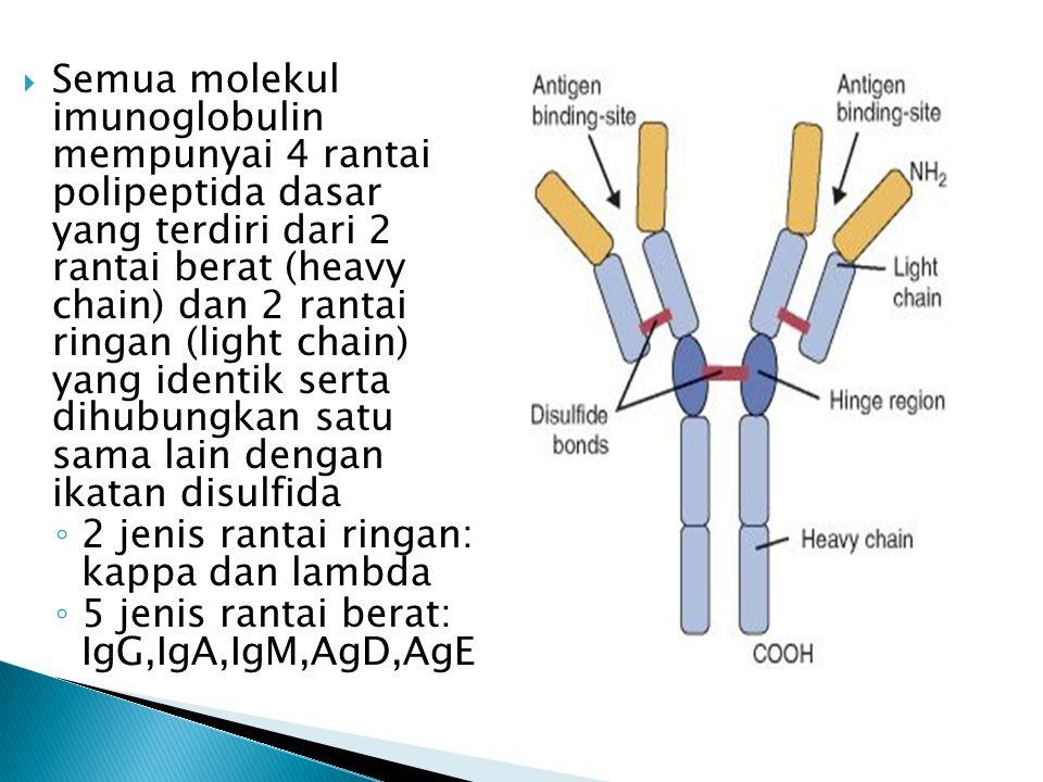 Semua molekul imunoglobulin mempunyai 4 rantai polipeptida dasar yang terdiri dari 2 rantai berat (heavy chain) dan 2 rantai ringan (light chain) yang identik serta dihubungkan satu sama lain dengan ikatan disulfida