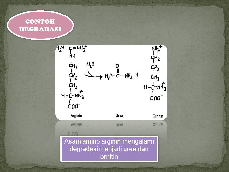 Asam amino arginin mengalami degradasi menjadi urea dan ornitin