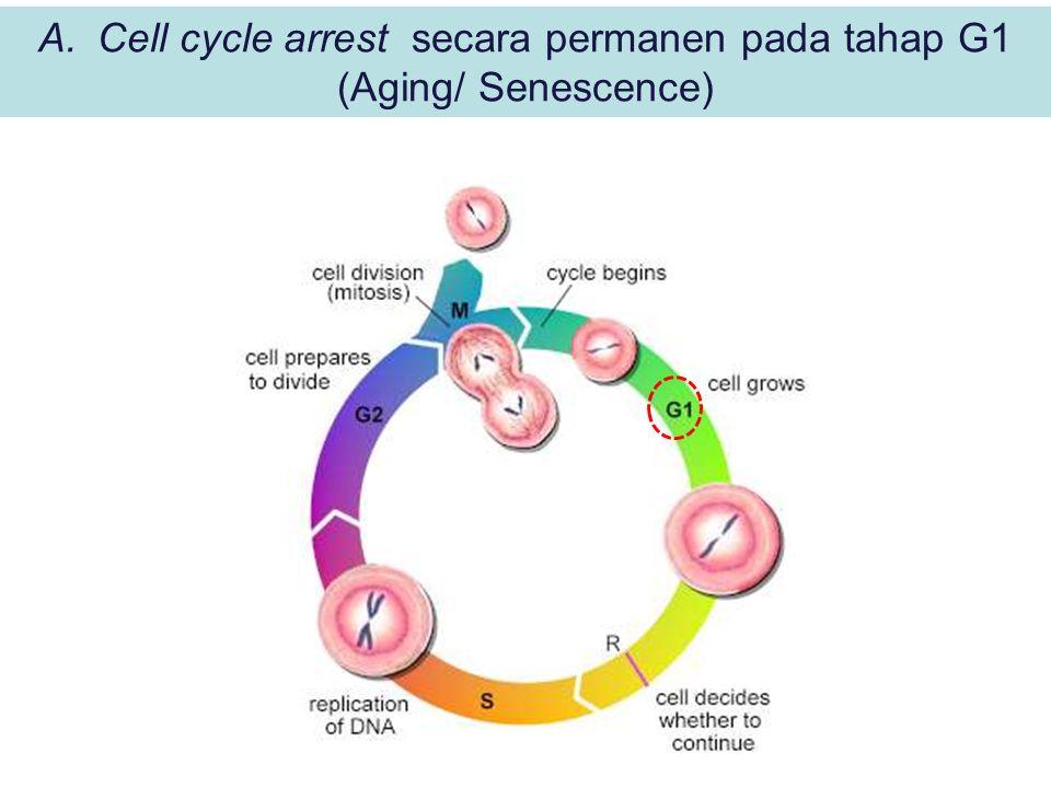 Cell cycle arrest secara permanen pada tahap G1