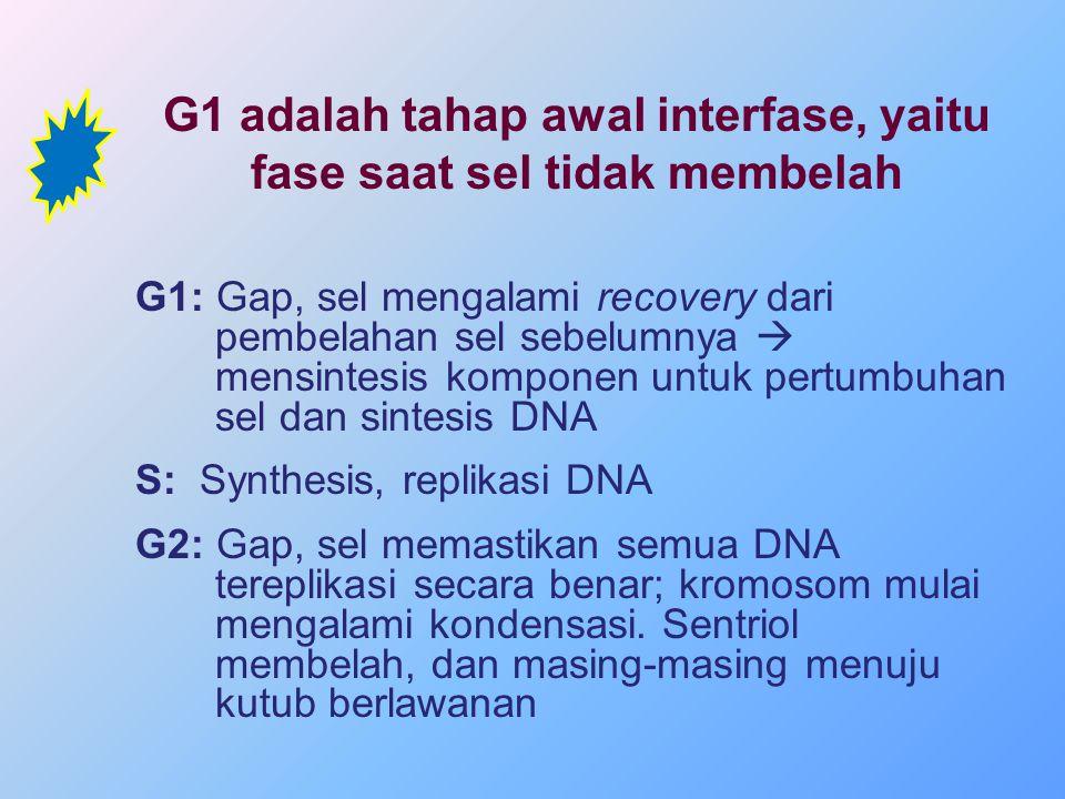 G1 adalah tahap awal interfase, yaitu fase saat sel tidak membelah