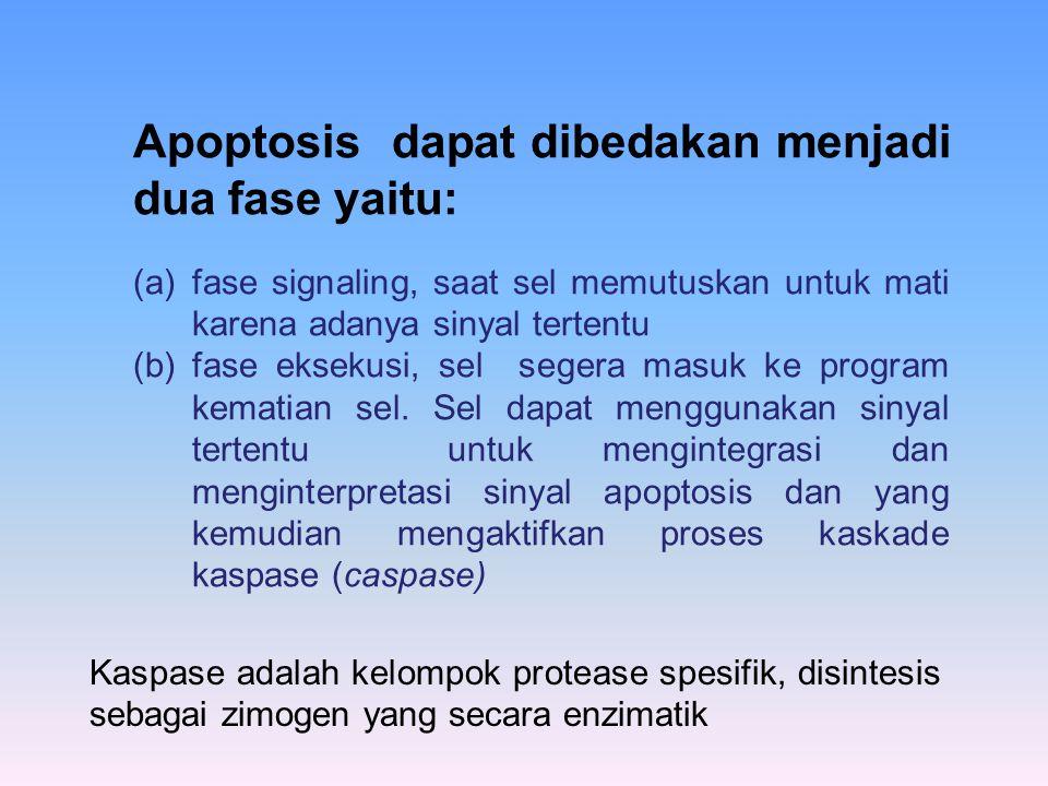 Apoptosis dapat dibedakan menjadi dua fase yaitu:
