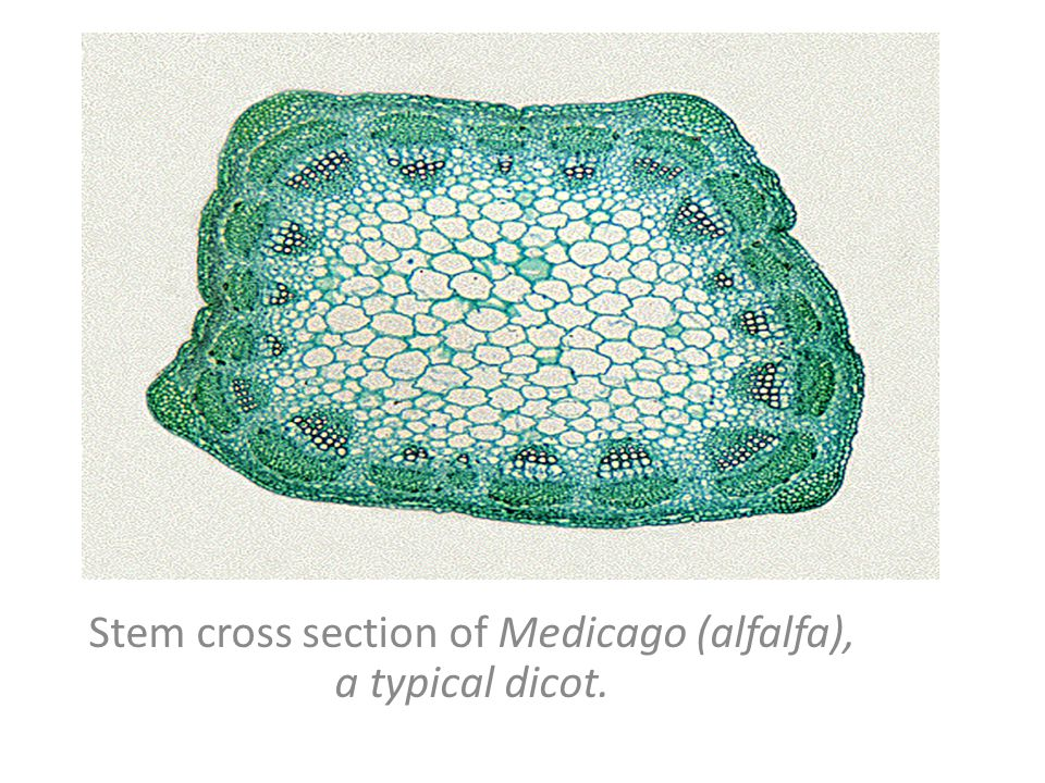 Stem cross section of Medicago (alfalfa), a typical dicot.
