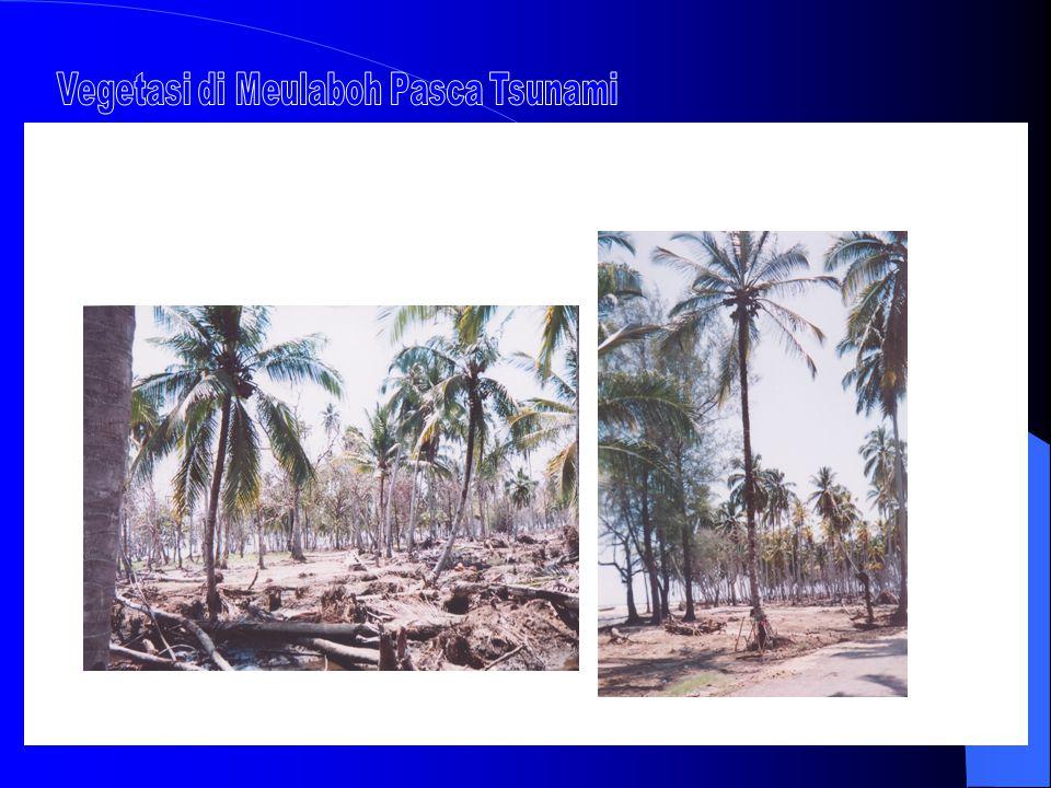 Vegetasi di Meulaboh Pasca Tsunami