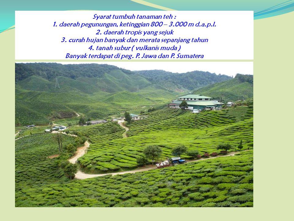 Syarat tumbuh tanaman teh : 1. daerah pegunungan, ketinggian 800 – 3