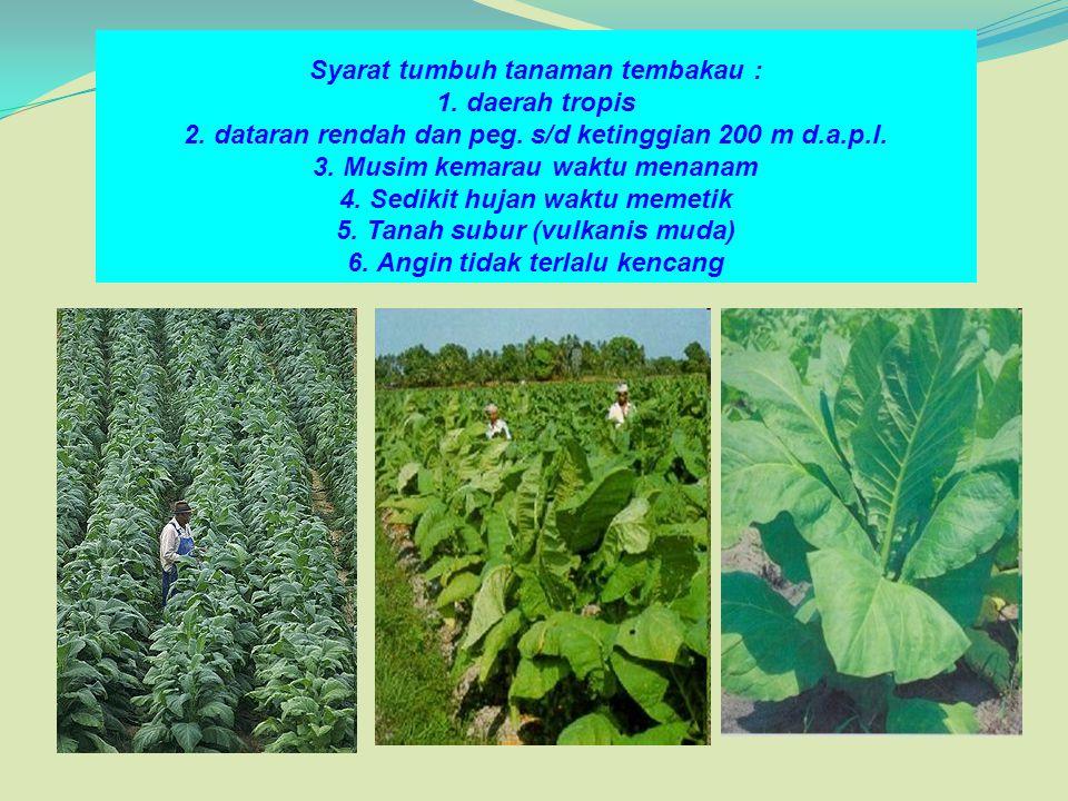 Syarat tumbuh tanaman tembakau : 1. daerah tropis 2