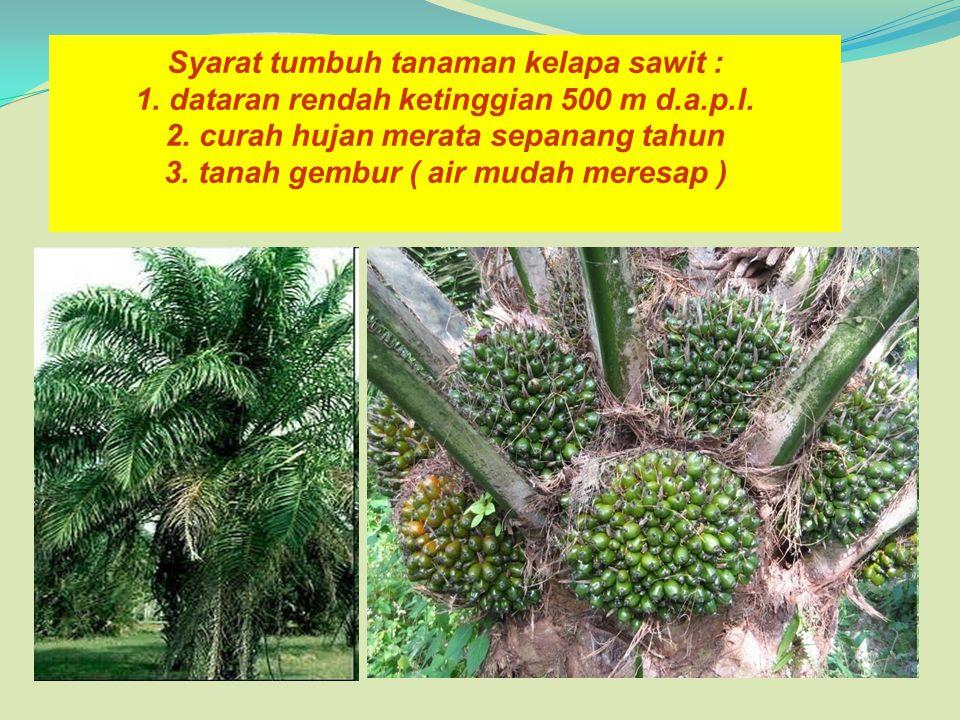 Syarat tumbuh tanaman kelapa sawit : 1